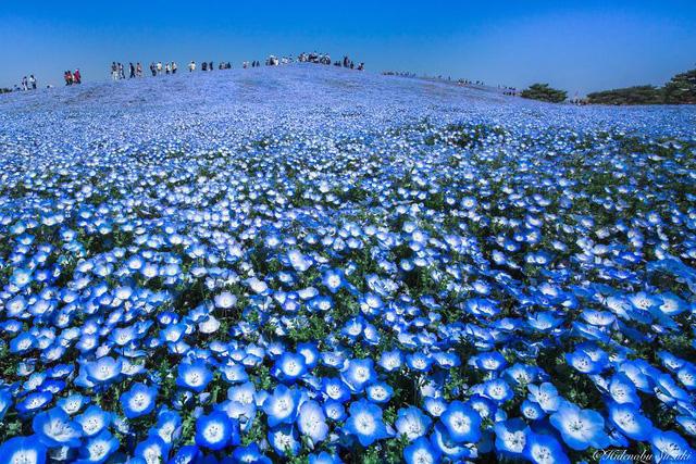 Trong tiếng Hy Lạp, hoa mắt xanh còn được gọi là hoa tình yêu bé nhỏ.