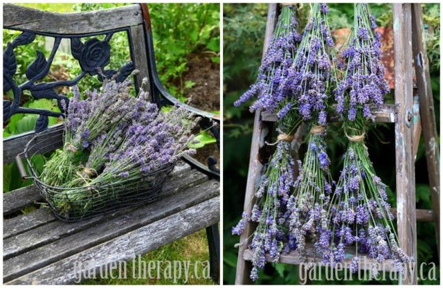 Hoa oải hương khô để trang trí và nhắc nhở bạn về những ngày hè ấm áp
