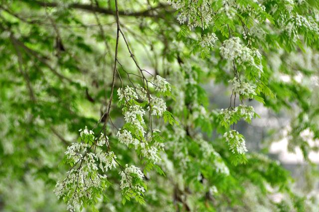 Một cây hoa sưa nở trắng bên Hồ Tây