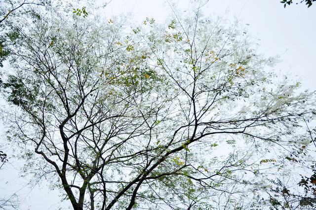 Màu trắng của hoa sưa nổi bật trên màu xanh non của những chồi non và làm bừng sáng cả một góc trời.