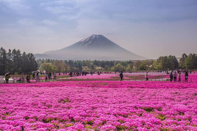 Sắc hoa Shibazakura như dệt một tấm thảm hồng tuyệt đẹp dưới chân núi Phú Sĩ.