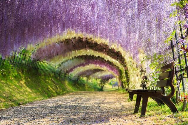 Kawachi Fuji Garden ở Fukuoka: Đường hầm hoa tử đằng với 150 cây gồm hơn 20 loài khác nhau nở rộ vào cuối tháng 4, khiến cho khung cảnh nơi đây như một chốn bồng lai trên mặt đất.