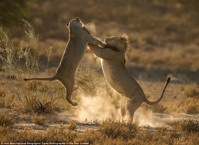 Hai chú sư tử đang lao vào cuộc chiến ở công viên Kgalagadi Transfrontier, Nam Phi.