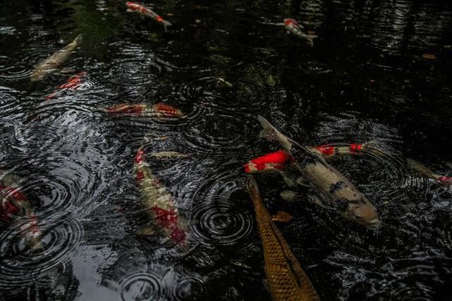 Các chép Koi tung tăng bơi lội dưới hồ nước.