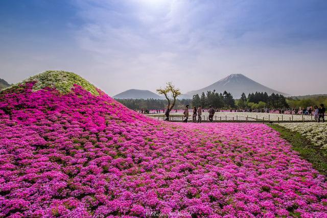 Cũng giống như hoa anh đào, hoa Shibazakura tượng trưng cho sắc đẹp, sự mong manh và trong trắng, là loại hoa mau nở chóng tàn.