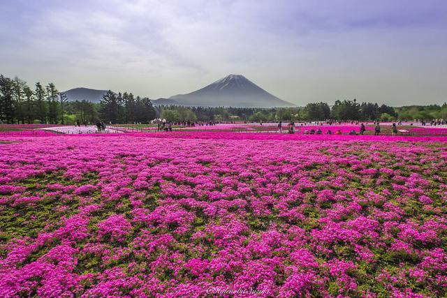 Thời điểm này ở Nhật cũng là mùa của hoa Shibazakura (hay còn gọi là hoa Chi Anh). Và nhiếp ảnh gia Hidenobu Suzuki cũng không thể cưỡng lại được sắc hồng lãng mạn của loài hoa này.