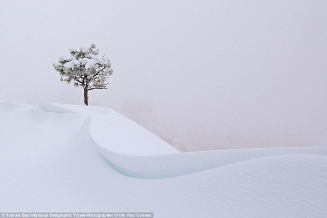 Trong một cơn bão tuyết ở Bryce Canyon, Utah, chỉ có duy nhất một cái cây nổi bật trên nền tuyết trắng, khi tầm nhìn gần như bằng không.