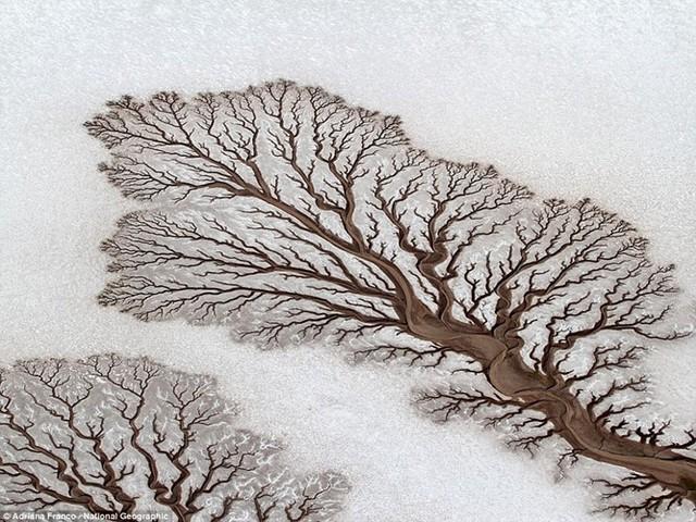 Nhìn bức ảnh này, nhiều người sẽ nghĩ đó là những thân cây chết nổi bật trên nền tuyết trắng. Nhưng thực chất đó là hình ảnh những con sông ngoằn ngoèo trên vùng sa mạc của bán đảo Baja California ở Mexico.