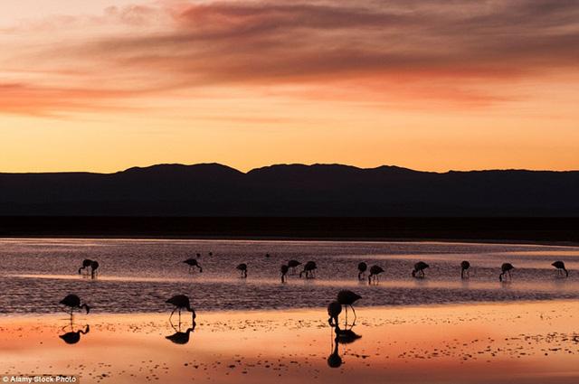 Khi hoàng hôn buông xuống, một hồ nước ở sa mạc Atacama, Chile như biến thành một tấm gương khổng lồ phản chiếu hình ảnh của những chú chim hồng hạc.