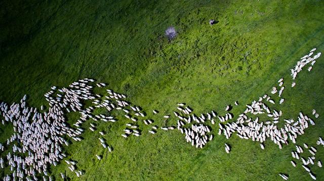 Giải Nhì chủ đề Thiên nhiên: Đàn cừu.