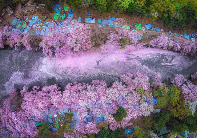 Hoa anh đào là một trong những nét đặc trưng nhất của Nhật Bản. Mỗi mùa xuân, Nhật Bản đều được bao phủ bởi những cánh hoa anh đào dịu dàng. Tuy nhiên, nếu bạn muốn thưởng thức vẻ đẹp của loài hoa này, cần phải chọn đúng thời điểm bởi vì hoa anh đào chỉ nở có một vài tuần.