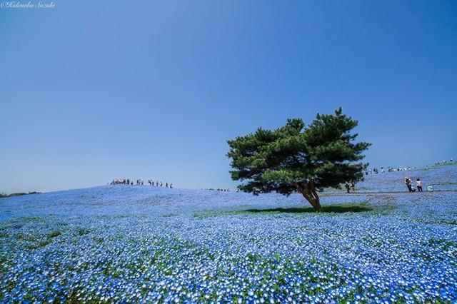Công viên ven biển Hitachi nằm ở đông bắc Tokyo chào đón du khách bất kì thời điểm nào trong năm nhờ nhưng bông hoa khoe sắc như một bức tranh đầy màu sắc. Tháng 9 là thời gian lí tưởng để ghé thăm bởi vì các loài hoa đều nở rộ nhưng nếu bạn thích xem hoa Baby Blue Eyes thì nên tới vào tháng 4 hoặc tháng 5.