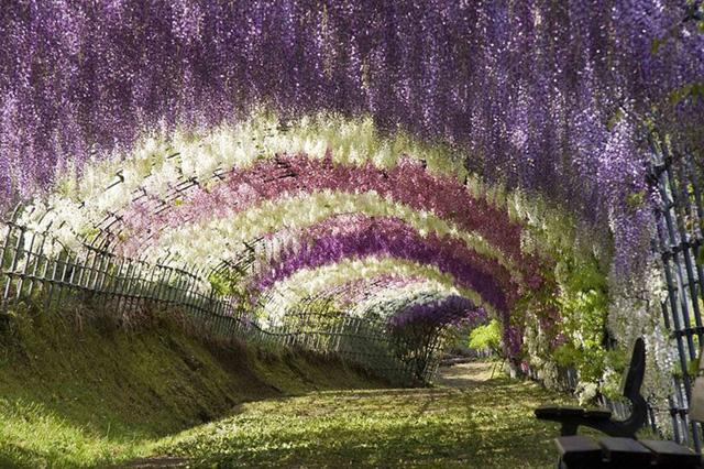 Bạn có từng muốn ghé thăm đường hầm Wisteria? Nếu vậy, khu vườn Kawachi nằm ở phía nam đảo Kyushu chính là điểm đến dành cho bạn. Người Nhật Bản yêu Wisteria và những đóa hoa chính là nét đặc trưng trong thơ Waka của Nhật Bản. Thời điểm tốt nhất để thăm khu vườn là vào cuối tháng 4 khi những bông hoa mang những sắc màu rực rỡ nhất.