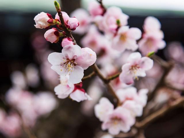 Hakodate cũng là nơi lý tưởng để ngắm hoa anh đào nở.