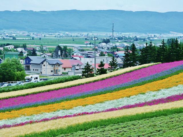 Có vô vàn loại hoa khác nhau ở Furano, trang trại Tomita. Thành phố này được biết tới bởi những cánh đồng hoa oải hương trải bạt ngàn.