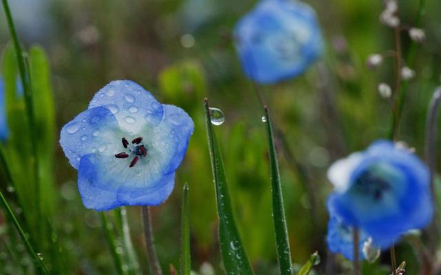 Khoảng thời gian cuối tháng Tư, khi mùa hoa anh đào vẫn chưa kết thúc, nước Nhật lại bước vào mùa hoa mắt xanh - Baby Blue Eyes tuyệt đẹp. Hơn 4,5 triệu bông hoa mắt xanh bung nở trong công viên Hitachi khiến du khách ngỡ như lạc vào chốn thần tiên.