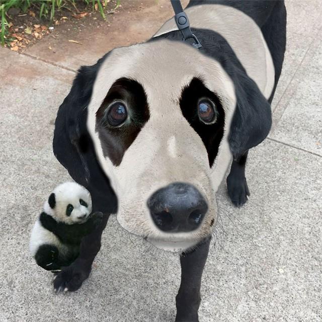 Với gương mặt ấn tượng đó, Labrador đã được biến hóa thành chú chó lai gấu trúc như thế này.