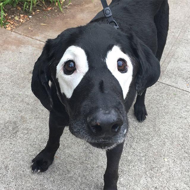 Chú chó Labrador gây chú ý bởi gương mặt đặc biệt màu bò sữa với hai khoảng lông trắng ở vùng mắt.