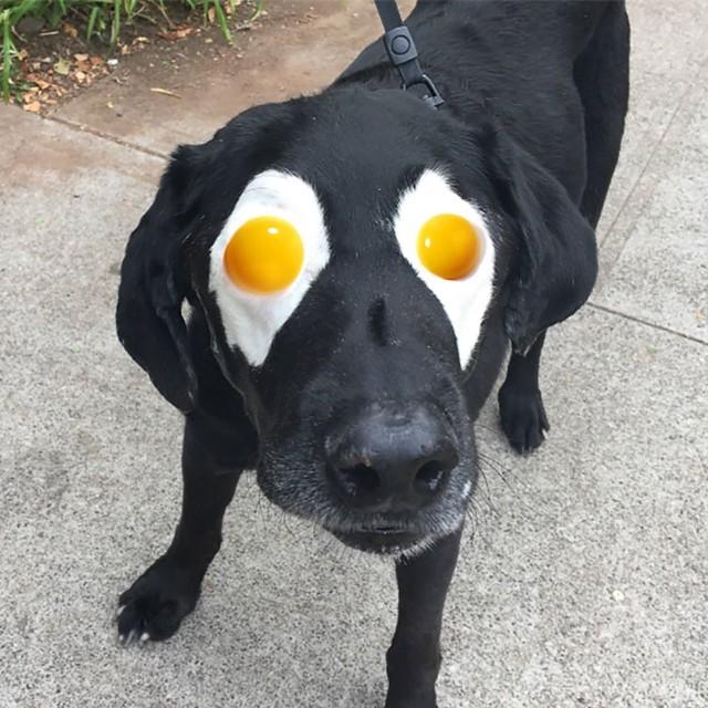 Bức ảnh chế này lại khiến Labrador mang đôi mắt trứng ốp.