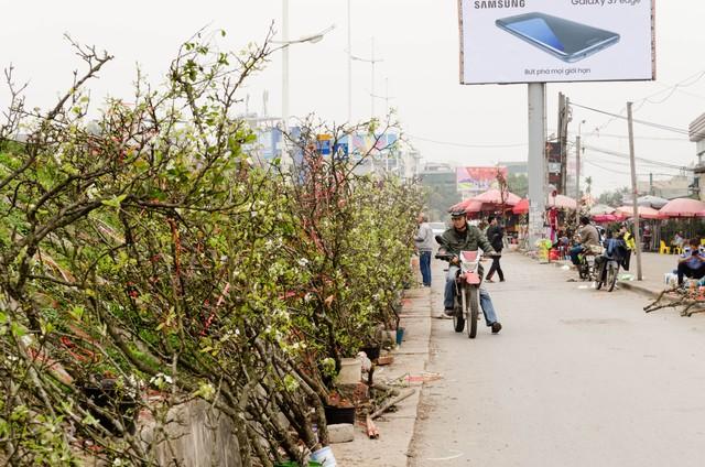 Hàng trăm cành lê được bày dọc triền đê Nghi Tàm