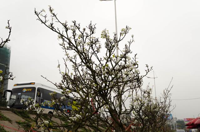 Nhiều cành lê có dáng rất cao và to, hoa nở trắng muốt phủ khắp các cành