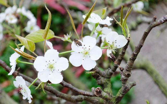 Hàng ngàn bông hoa lê bung nở thu hút những chú ong mật đến