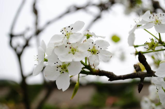 Hoa lê nở trắng muốt, tinh khôi giữa trời xuân Hà Nội