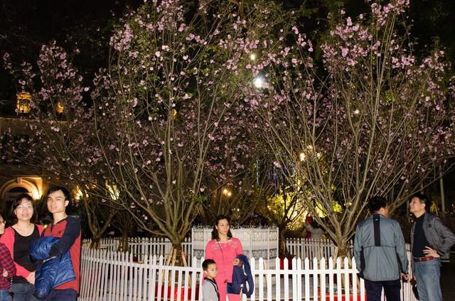 Người dân Hà Nội thích thú thưởng lãm hoa anh đào giữa lòng Thủ đô