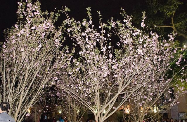 Những cây hoa anh đào nở rộ trong đêm xuân Hà Nội