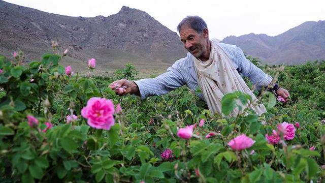 Nông dân hái hoa hồng tại Kashan, Iran. (Ảnh: presstv.com)