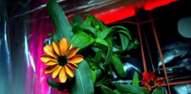 Bông hoa đầu tiên nở trên Trạm Vũ trụ quốc tế ISS.