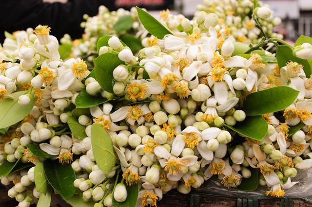 Những bông hoa bưởi nở bung trắng tinh khôi, khoe sắc nhụy vàng nhưng vẫn dịu dàng và mềm mại