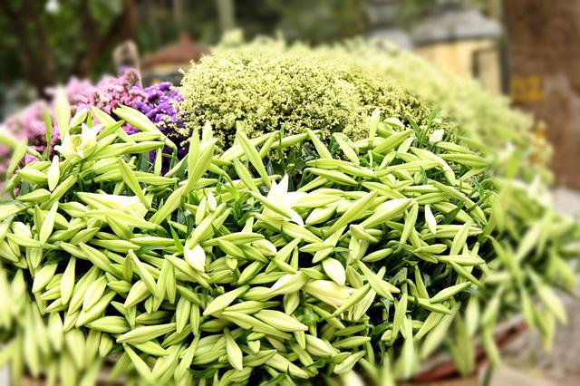 Loa kèn không rực rỡ, chỉ nở trắng tinh khôi và thơm hương thoang thoảng nhưng vẫn có sức hút lạ kỳ