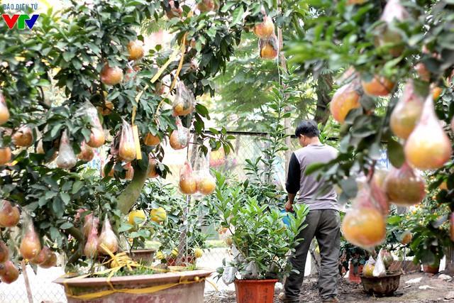 Theo chủ vườn, các gốc bưởi đều có thâm niên khoảng 15 năm, sau đó được đưa lên chậu, chăm sóc khoảng 3 năm mới cho quả.
