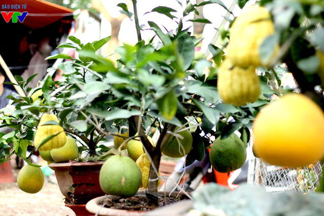 Ngoài ra, nhà vườn cũng giới thiệu các chậu bưởi nhỏ hơn, được ghép cùng phật thủ, cho 2 loại quả khá đồng đều và đẹp mắt.