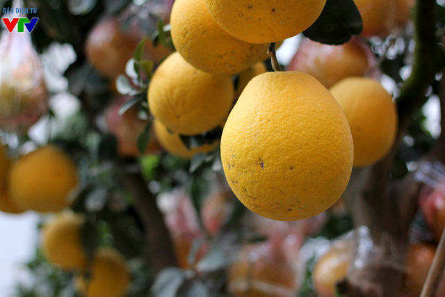 Hiện tại, số bưởi trên cây đều đã chín khá nhiều với màu vàng đặc trưng và nổi bật. Theo chủ vườn, năm nay lượng quả đồng đều và đẹp hơn mọi năm.