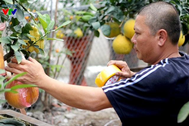 Để đảm bảo số quả không bị va chạm, rơi rụng trong quá trình vận chuyển, nhà vườn thường xuyên dùng túi nilon và băng keo cố định quả cho chắc chắn.