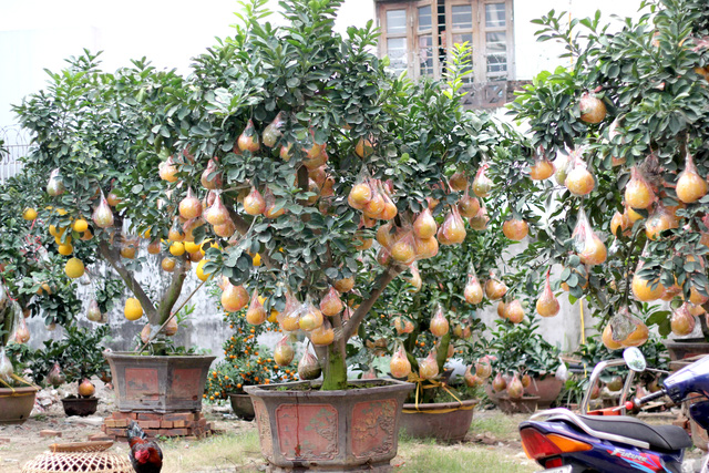 Thời điểm hiện tại, nhà vườn trưng bày gần 20 gốc bưởi với giá cho thuê từ 15-35 triệu đồng tùy loại to, nhỏ, số lượng quả, lâu năm hay ít năm.