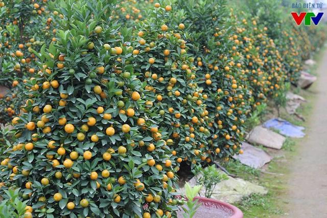 Người dân trồng quất Tứ Liên cho biết, quất năm nay đẹp hơn năm ngoái do điều kiện thời tiết khá thuận lợi. Quất ra quả đồng đều, to và bóng đẹp nên rất được giá.