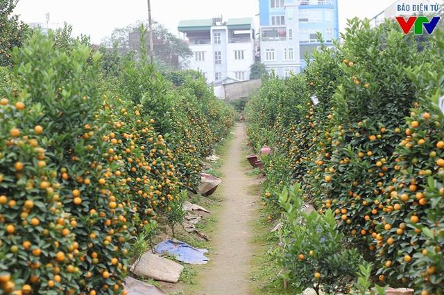 Cận Tết Nguyên đán Bính Thân, nhiều vườn trồng quất Tứ Liên đã chín rộ, sẵn sàng đáp ứng nhu cầu chơi Tết của người dân.