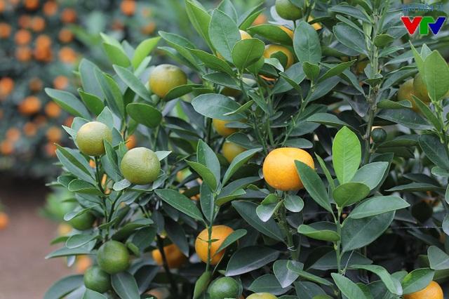 Lượng quả xanh ở nhiều cây quất cảnh chiếm khoảng 20% nên nhiều khách chọn rất ưng ý vì mua được quất đẹp.