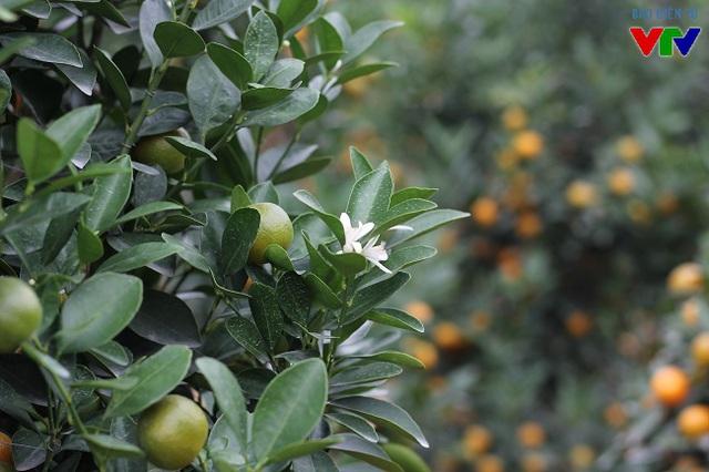 Người sành chơi quất thường chọn những cây không chỉ đẹp mà còn hội tụ ngũ hành tương sinh tương khắc. Cây quất cảnh chơi Tết không chỉ có quả vàng mà còn phải nhiều quả xanh, hoa trắng và lộc lá vươn cao.