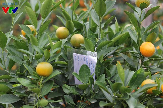 Nhiều cây quất cảnh đẹp lọt vào mắt xanh của khách hàng đã được đánh dấu riêng, chờ ngày vận chuyển.
