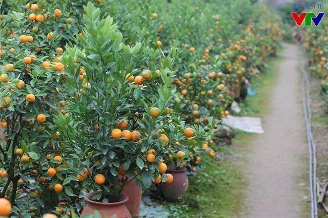 Bên cạnh loại quất cảnh truyền thống thì vài năm trở lại đây, người dân Tứ Liên còn phát triển và mở rộng diện tích trồng quất bonsai - loại quất nhỏ, được tạo dáng và trồng trong chậu, bình.