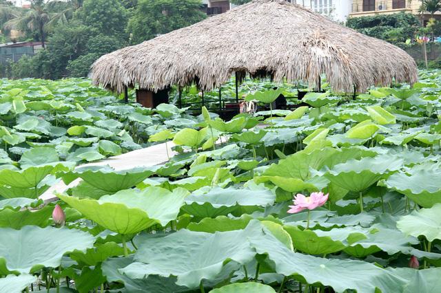 Từ đầu tháng 7, khi mùa hoa sen đã sắp tàn, nhiều bạn trẻ có dịp thưởng thức hoa sen tại đầm ngay sát Hồ Tây - Hà Nội