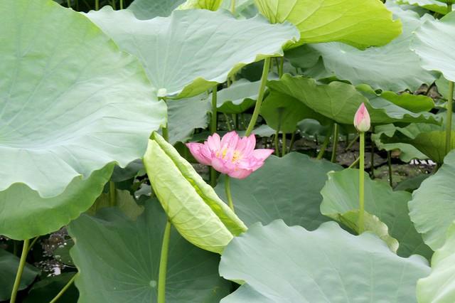 Dù không có quá nhiều hoa trong đầm nhưng đổi lại, mỗi bông hoa sen lại có kích thước khá to và nở đều