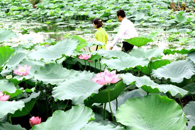 Đầm sen xanh mướt với những bông hoa vừa nở đẹp, là nơi thú vị cho nhiều bạn trẻ thưởng thức, chụp ảnh trước khi mùa sen chính thức khép lại, chờ những nụ hoa bung nở vào mùa hè sang năm