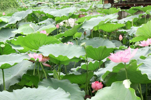 Theo chủ đầm sen, để giữ được hoa nở đẹp trong khi hoa tại các đầm đều đã tàn hay không nở, anh đã tốn khá nhiều công sức, tiền bạc trong việc thuê thêm nhân viên, mời chuyên gia để tìm cách chăm sóc, cứu sống hoa trong đầm