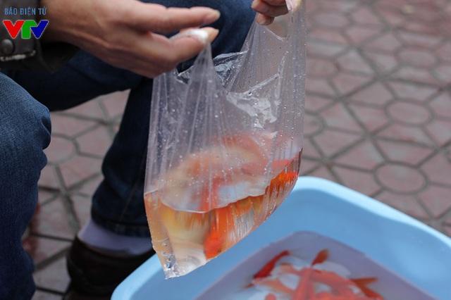 Cá chép đỏ thường được bán thành bộ 3 con để dâng cúng 3 ông Táo bà Táo, gắn liền với sự tích của dân gian