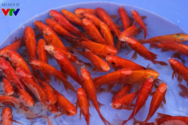 Trung bình, bộ 3 cá chép đỏ được bán với giá 20.000 đồng